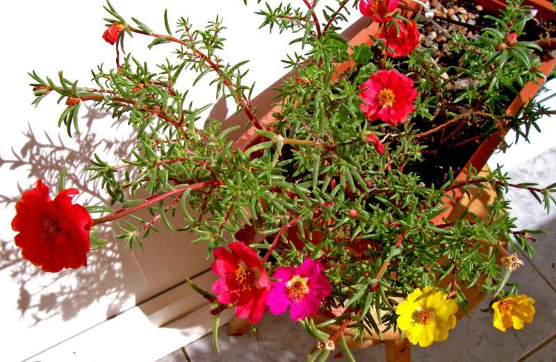 Цветы которые сажать в грунт 5