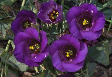 цветы эустома