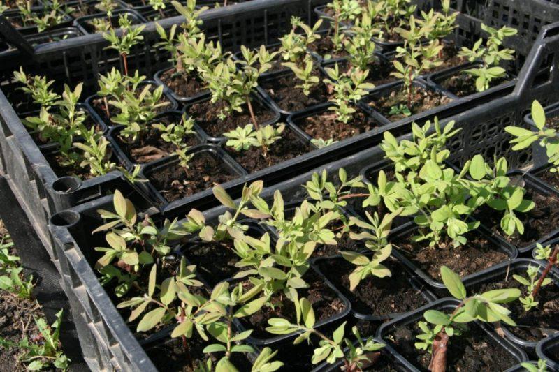 выращивание жимолости